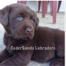 Pure Labrador puppies with papers Woolgoolga Coffs Harbour Area Preview
