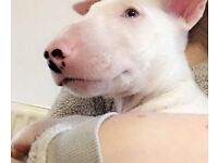 English bull terrier puppies READY NOW !!!