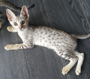 Silver Male F6 Savannah Kitten cat available similar to a Bengal