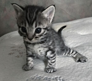 Registered Charcoal/Silver Bengal Kittens