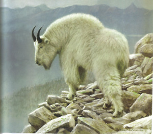 Mountain Goat at Kakwa - Robert Bateman