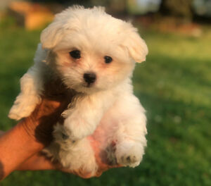 Maltese pup pure breed