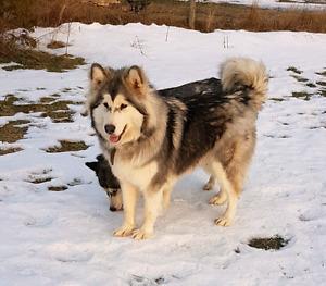 Alaskan malamute for adoption