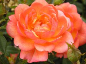 FOND MEMORIES - 4lt Potted Patio Garden Bush Rose - apricot/yellow