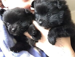 Pomeranian x pups Mill Park Whittlesea Area Preview