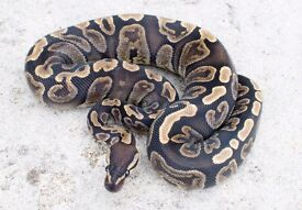 GHI Royal Python - Female