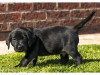 Black working Labrador puppies