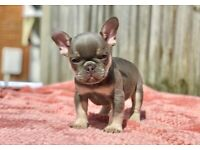 MR ATM L4 carrier french bulldog puppies