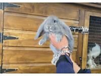 Ready now-Gorgeous Pedigree French lop babies