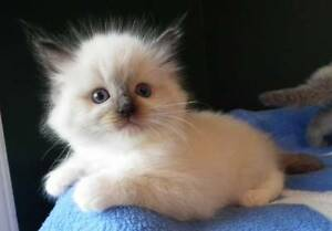 Purebred Ragdoll Kittens Nowra Nowra-Bomaderry Preview