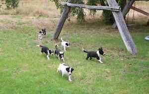 Border Collie Puppies for sale Binnaway Warrumbungle Area Preview