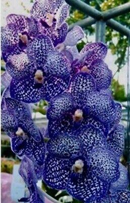 Vanda Perfect Blue Chu. New a fioritura piena Pianta Orchidea Orchidee