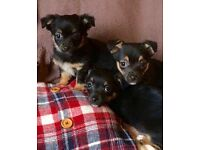 Chihuahua X Norwich Terriers
