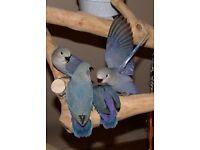 handreared baby violet lovebirds,peachfaced