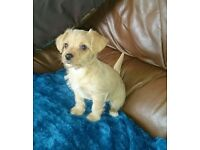 Poo-chi / Chi-poo puppies for sale