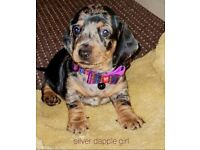 5 Beautiful Miniature Dachshund puppies