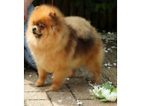 Very pretty kc pomeranian male!!!!!