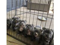 ABKC REGISTERED POCKET/MICRO AMERICAN BULLY PUPPIES FOR SALE