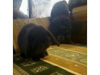 Baby Mini lop rabbit for sale