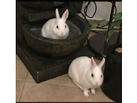 5 month old white rabbits - male and female available