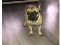 For sale French bulldog female adult