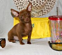 Chihuahua mâle entierement  chocolat au yeux vert petit prince