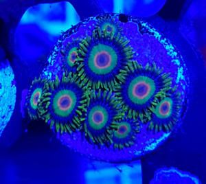 Rasta Zoanthid Corals Frags for sale!!