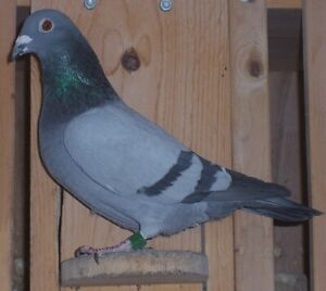 Homing Pigeon | Kijiji - Buy, Sell & Save with Canada's #1