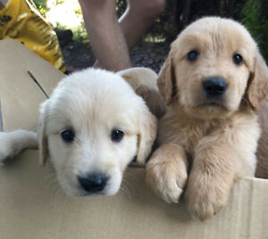 Purebred Golden Retriever Puppies For Sale.//// SOLD