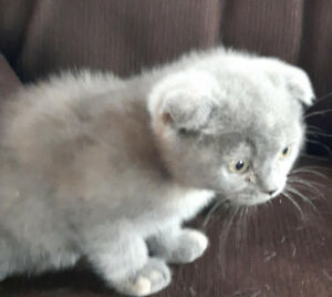 2 Female Scottish Fold.  $600.00 each