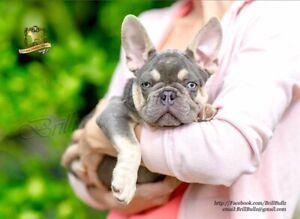 French Bulldog - Lilac & Tan