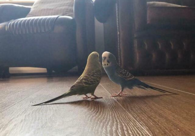 Hand Tame male and female budgies for sale | in Muswell Hill, London |  Gumtree