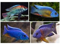 fish african malawi cichlids 1-2 inch . £2.50 or 5 for £10