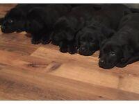 2 Beautiful Full Labrador Puppies