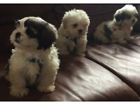 Bichon fries x shih tzu 8 weeks old puppies