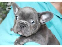French Bulldog Puppies Dogs Puppies For Sale Gumtree
