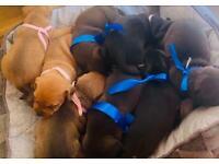 Patterdale x plumber puppies