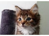 3 Adorable Siberian x kittens