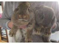 Domestic Identical twin Boy Rabbits For sale.