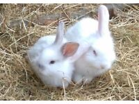 two white young rabbits for quick sale