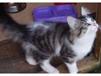 Koko a beautiful kitten need a home