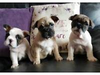Female French Bulldog pups for sale
