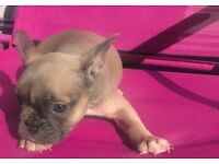 French bull dog puppy's ready to go must see