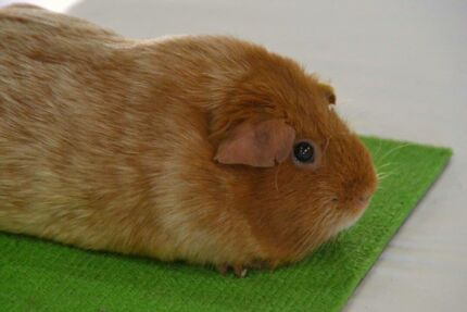 Purebred baby Guinea pigs, very placid. Registered Breeder.