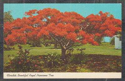 Florida Beautiful Flaming Red Royal Poinciana Tree Chrome Postcard 380