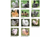Silkie Bantams & Coop and Feeders for Sale. Complete Set up