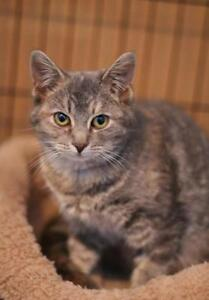 "Young Female Cat - Domestic Short Hair: ""Tracy"""