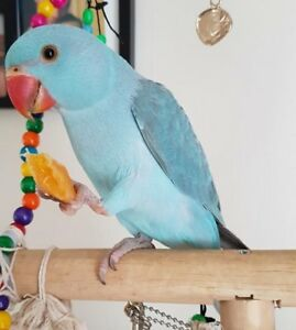 YOUNG RING NECK PARROTS ALL COLORS  FOR SALE  BOTH LOCATION