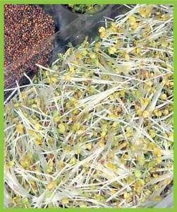 ORGANIC SPROUTING SEEDS ROCKET CULTIVATED  40GM