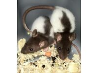 Selling my baby rats